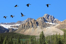 Flying Canadian geese on a blue sky over the Rocky mountains and Bow lake coniferous woods. Rocky mountains, Alberta, Canada