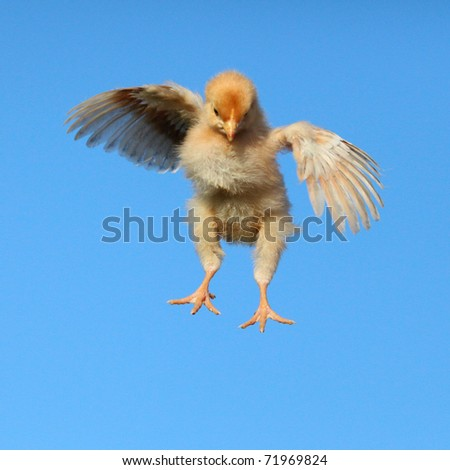 Flying chicken