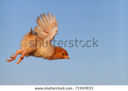 Flying chicken - stock photo