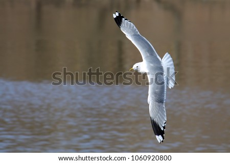 Flying common gull (Larus canus) or mew gull with spread wings. Common gull in adult summer plumage with a gray back, white head and black tips of wings