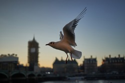 Flying common gull ,Larus canus, or sea mew, resting on stone wall on embankment on the river Thames in the centre of London, capitol of United kingdom during the cold winter sunset in golden hour.