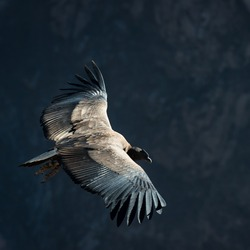 Flying condor over canyon