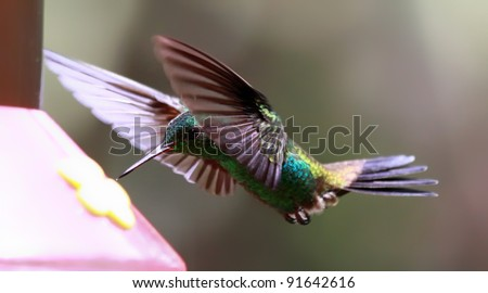 Flying Copper-rumped Hummingbird (Amazilia tobaci) at a Feeder (Tobago)