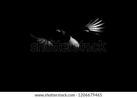 Flying crow. Bird: Eurasian Magpie. Pica pica. Darkness artistic background. #1206679465