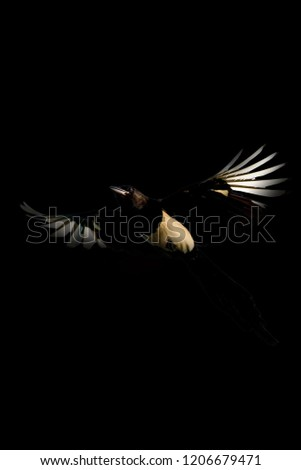 Flying crow. Bird: Eurasian Magpie. Pica pica. Darkness artistic background. #1206679471
