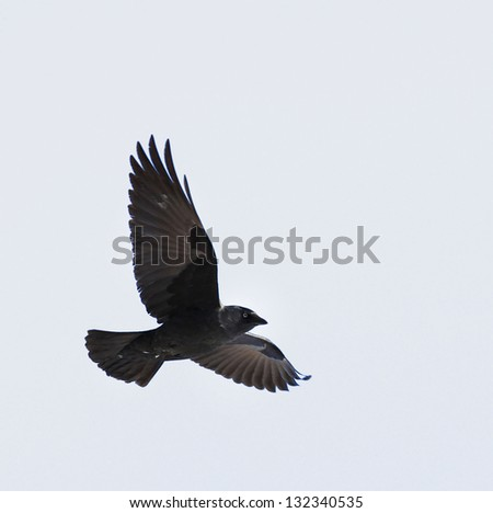 flying crow on white