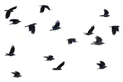 Flying crows white background, black crows silhouette