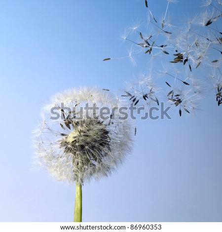 flying dandelion seeds in blue back - stock photo