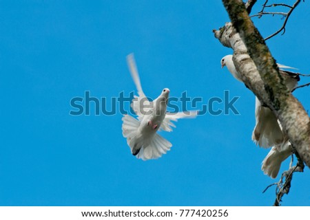 Flying dove and two doves perched on a tree branch #777420256