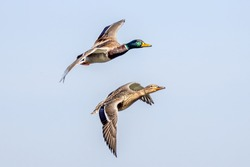 Flying duck with blue sky background.