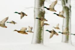 Flying ducks on snow in winter blizzard