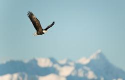 Flying eagle ( Haliaeetus leucocephalus washingtoniensis  )over snow-covered mountains. Winter Alaska. USA