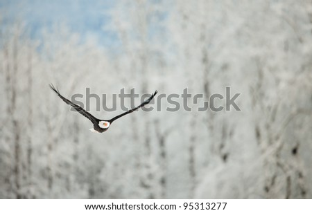 Flying eagle ( Haliaeetus leucocephalus washingtoniensis  )over snow-covered mountains. Winter Alaska. USA