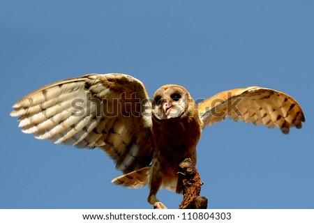 Flying eagle owl bird isolated