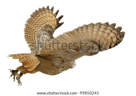 Flying eagle  owl bird isolated on white background