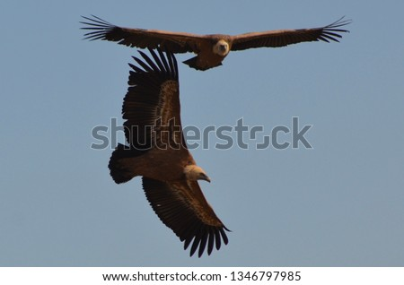 Flying eagles. Flying vultures #1346797985