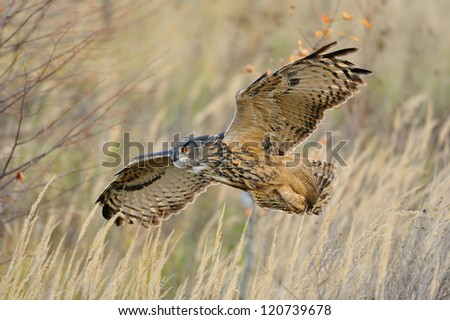 Flying Eurasian Eagle-Owl upon autumn land with branches in background