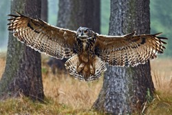 Flying Eurasian Eagle Owl with open wings in forest habitat with trees, wide angle lens photo.