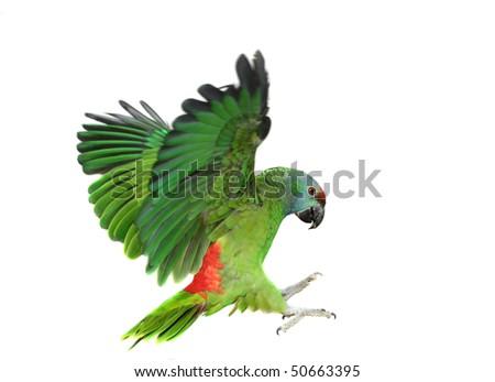 Stock Photo Flying festival Amazon parrot on the white background