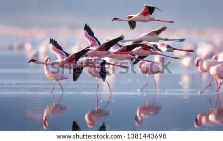 Flying flamingo in lake nakuru, Kenya