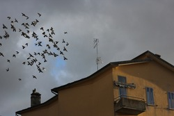 Flying flock of birds, pigeons, over the roof of the house