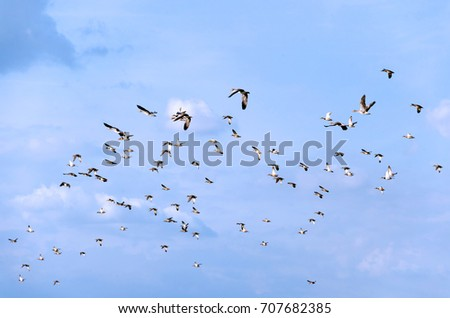 Flying flock of mallards. Wild ducks during autumn bird migration in Hungary.  #707682385