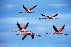 Flying flock of nice pink big birds Greater Flamingos, Phoenicopterus ruber, with clear blue sky with clouds, Camargue, France.