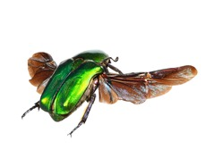 Flying flower chafer (Potosia (Protaetia) cuprea)