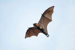 Flying fox bat and baby flying in blu sky
