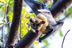 flying fox, Cairns, Australia