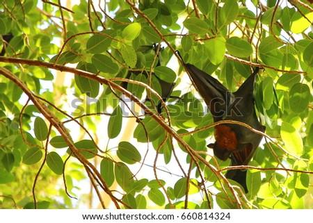 Flying Fox in Australia #660814324