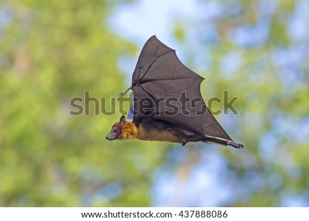 Shutterstock Flying fox on green background, bats flying, Fruit bat in Thailand.