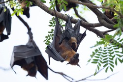 Flying-Fox or Fruit bat Feed the bat cub while hanging from a branch  during the day and spread its wings to cool it down.