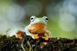 Flying frog on branch, beautiful tree frog on branch, rachophorus reinwardtii, Javan tree frog