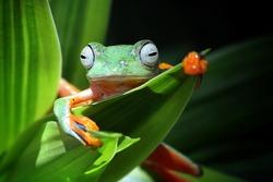 Flying frog on branch, beautiful tree frog on green leaves, rachophorus reinwardtii, Javan tree frog