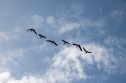 Flying geese in the air