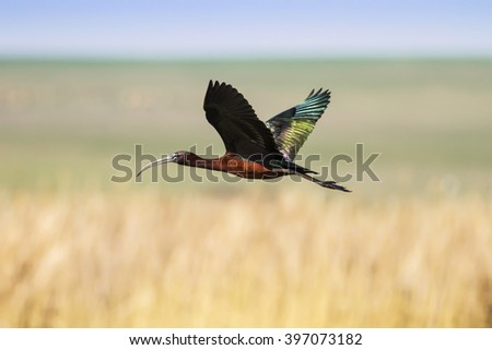 flying Glossy Ibis  Glossy Ibis / Plegadis falcinellus #397073182