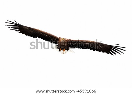 golden eagle flying. stock photo : flying golden