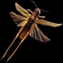 Flying Grasshopper isolated on black