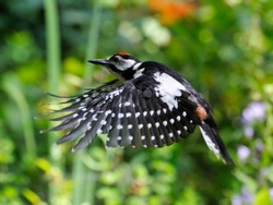 Flying Great Spotted Woodpecker against the background with grass and flowers