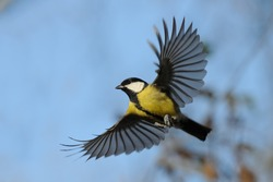 Flying Great Tit (Parus major) in autumn. Moscow region, Russia