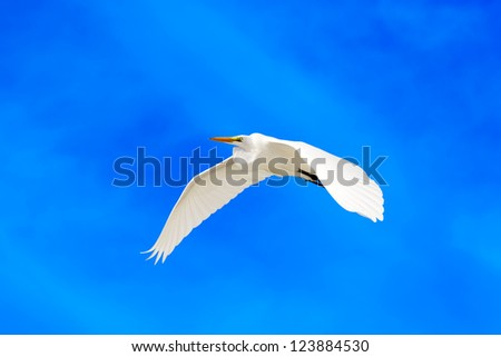 flying Great White Egret with blue sky background