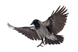 flying grey crow isolated on white background
