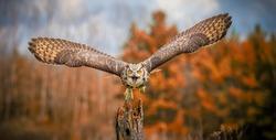 Flying Grey Horned Owl