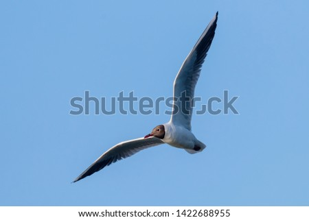 Flying Gull, Black-Headed Gull (Larus ridibundus)
