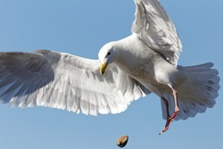 Flying Gull Dropping Clam
