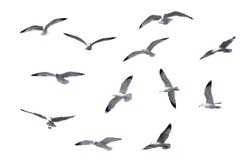 Flying Gulls isolated on white background
