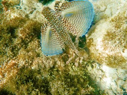 Flying gurnard fish on a underwater coral reef
