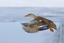 Flying Hen Mallard