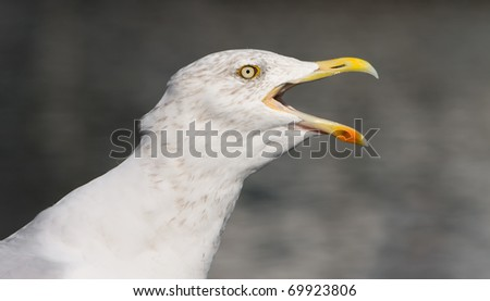 flying herring gull on a blue sky background (Moewe)